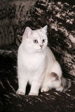 brittisk kattchinchilla Royaltyfria Bilder