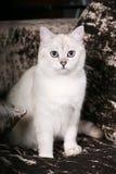 brittisk kattchinchilla Royaltyfri Fotografi