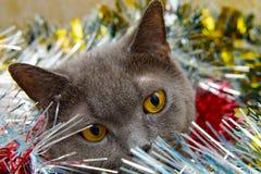 brittisk kattjul Royaltyfri Fotografi