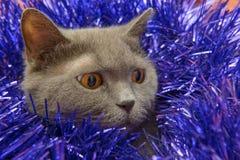 brittisk kattjul Royaltyfria Bilder