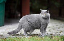 brittisk kattshorthair Royaltyfri Foto