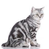 brittisk kattshorthair Arkivfoton