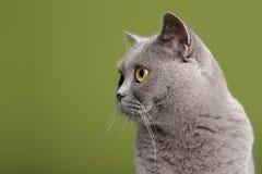 brittisk kattshorthair Royaltyfri Bild