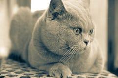 brittisk kattshorthair Arkivfoto