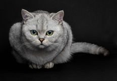 brittisk kattshorthair Royaltyfri Fotografi