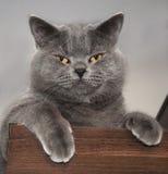 brittisk kattshorthair Royaltyfria Bilder