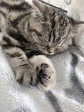 brittisk katttabby royaltyfri bild
