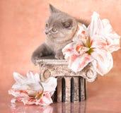 brittisk kattunge royaltyfria bilder