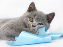 brittisk kattunge Arkivfoton