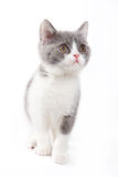 brittisk kattunge Royaltyfri Bild