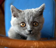 brittisk kattunge Royaltyfri Fotografi