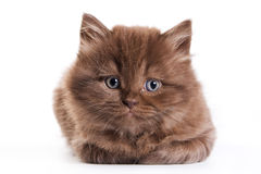 brittisk kattunge Royaltyfri Foto
