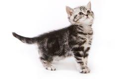brittisk kattunge Arkivfoto