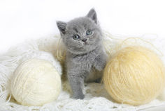 Brittisk kattunge med bollar av ull. Royaltyfri Fotografi
