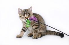 Brittisk kattunge med en toy Arkivbild