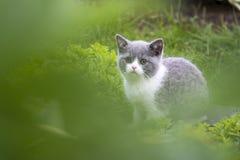 Brittisk kattunge som döljer i gräset och fångar fjärilar Begreppet av går i den nya luften royaltyfri foto
