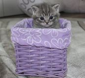 Brittisk kattunge som sitter i en korg arkivbilder