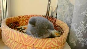 Brittisk kattunge som spelar med för att fatta arkivfilmer