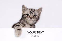 brittisk kattungeshorthair Arkivbilder