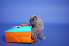 brittisk kattungeshorthair Arkivbild