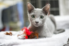 brittisk kattungeshorthair Royaltyfri Bild