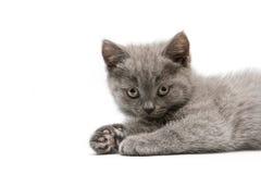 brittisk kattungewhite för bakgrund Royaltyfria Foton