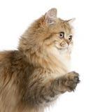 Brittisk Longhair katt, 4 gammala månader Royaltyfri Bild