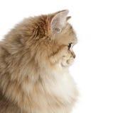 Brittisk Longhair katt, 4 gammala månader Fotografering för Bildbyråer
