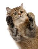 Brittisk Longhair katt, 4 gammala månader Arkivfoto