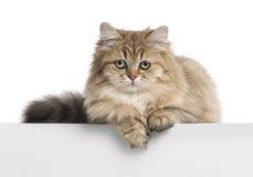 Brittisk Longhair katt, 4 gammala som månader ligger Royaltyfri Foto