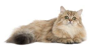 Brittisk Longhair katt, 4 gammala som månader ligger Royaltyfria Bilder