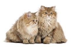 Brittisk Longhair katt, 4 gammala som månader sitter Fotografering för Bildbyråer