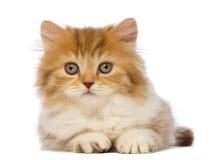 Brittisk Longhair kattunge, 2 gammala som månader ligger och ser kameran Royaltyfri Fotografi