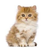 Brittisk Longhair kattunge, 2 gammala månader, sammanträde och se kameran Royaltyfri Fotografi