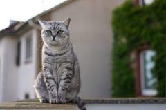 Brittisk shorthaikatt på balkong Fotografering för Bildbyråer