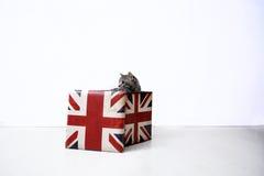brittisk shorthair Fotografering för Bildbyråer
