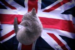 Brittisk shorthair behandla som ett barn Fotografering för Bildbyråer