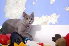 Brittisk shorthair behandla som ett barn Arkivfoton