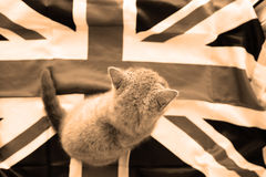 Brittisk shorthair behandla som ett barn Royaltyfria Bilder