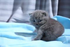 Brittisk Shorthair blåttkattunge som tillbaka ser Royaltyfri Bild