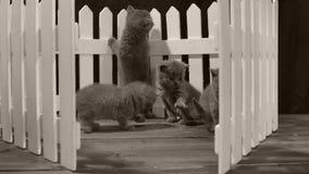 Brittisk Shorthair blåttkattunge, vitt staket arkivfilmer