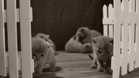 Brittisk Shorthair blåttkattunge, vitt staket stock video