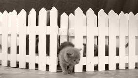 Brittisk Shorthair blåttkattunge, vitt staket lager videofilmer