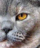brittisk shorthair för kattcloseprofil upp Royaltyfri Foto
