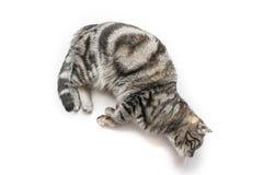 Brittisk Shorthair för stilig svart silverstrimmig katt som katt lägger ner att hänga över kanten som isoleras på vit bakgrund arkivbilder
