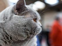 Brittisk Shorthair katt Royaltyfri Fotografi
