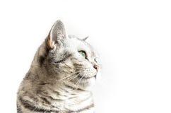 Brittisk Shorthair katt Royaltyfria Foton