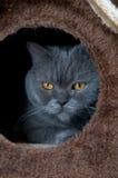 Brittisk Shorthair katt i Cat House Royaltyfri Foto