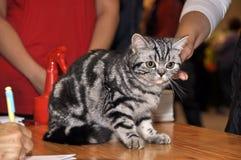 Brittisk Shorthair katt i utställning Arkivbilder