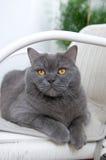 Brittisk Shorthair katt i vit vide- stol Royaltyfri Bild